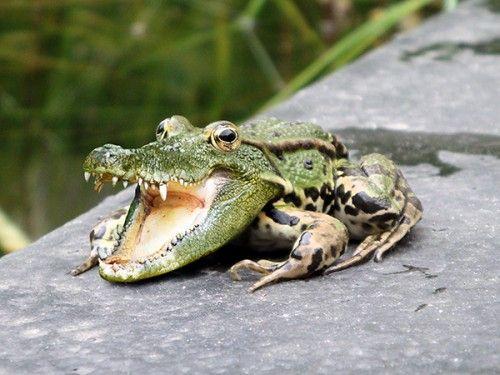 Комбинирование изображений с лягушкой и крокодилом